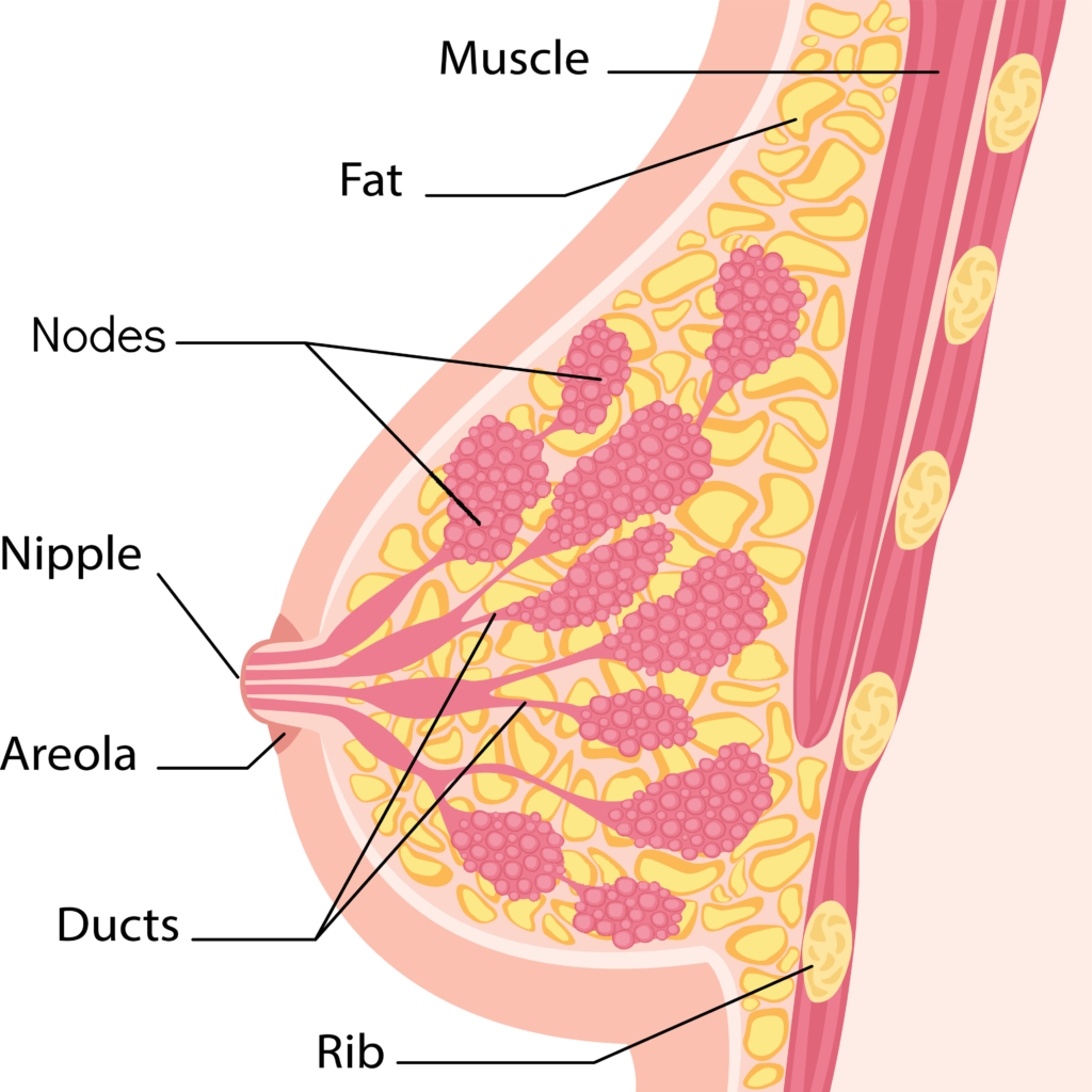 Cross sectional anatomical view of the male breast which includes fat, muscle, glands and lymph nodes