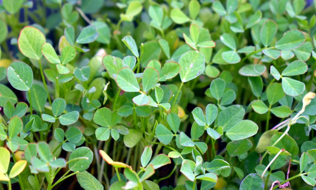 Fenugreek may be a potential DHT inhibitor