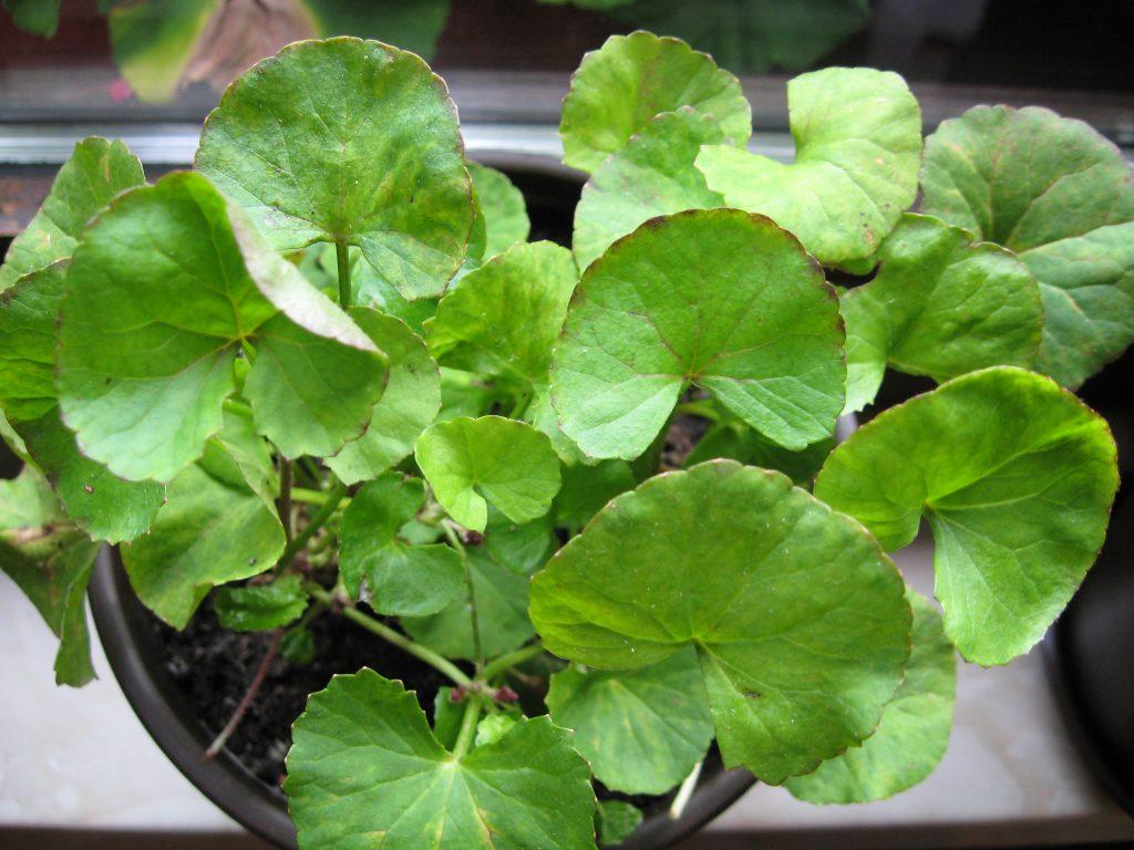 Gotu Kola - Centella Asiatica