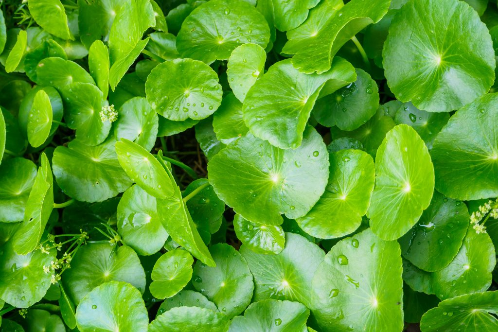 Also known as Centella Asiatica. Gotu Kola benefits many areas of health, down to our hair follicles